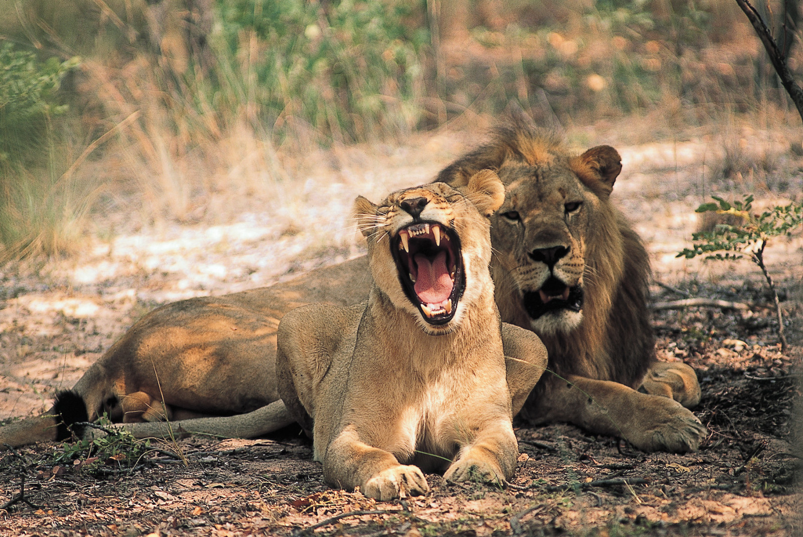 Entabeni-Safari-Conservancy-Wildlife-Lions